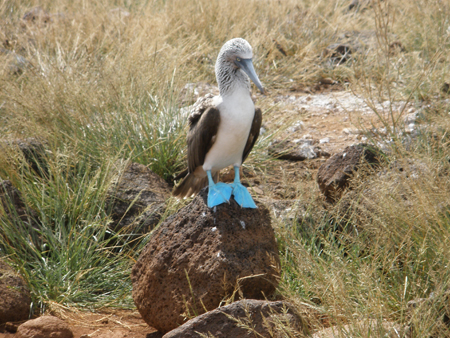 NS1Blue_footed_booby