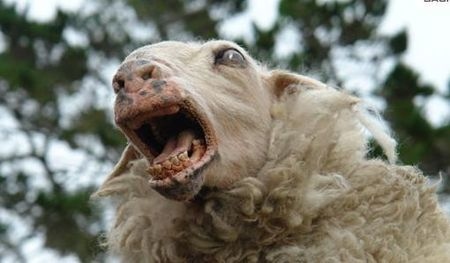 Killer_sheep