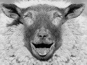 Laughing_sheep