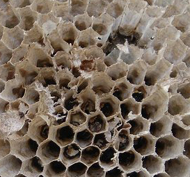 Uterine_wasp_nest