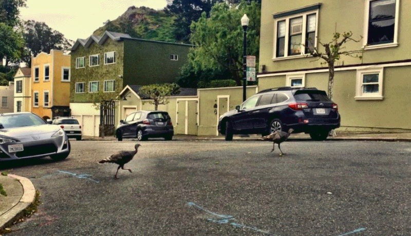 San Franciso Turkeys