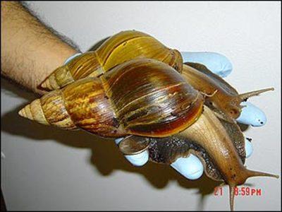 African_land_snails_1