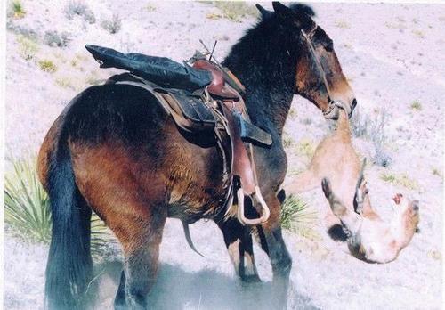 Mule_attacks_mountain_lion01