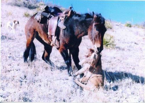 Mule_attacks_mountain_lion02