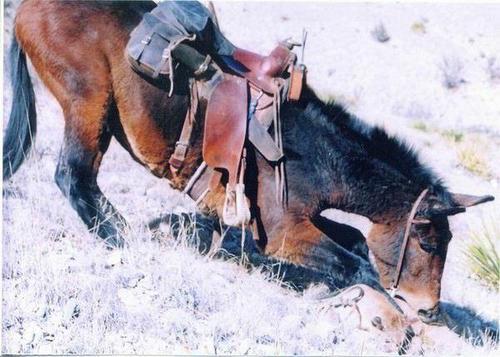 Mule_attacks_mountain_lion04