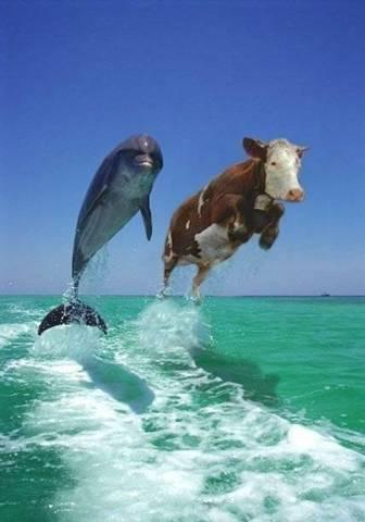 Surfing_cow